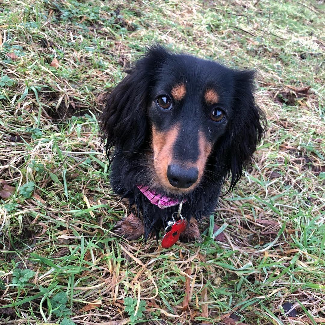 A Black Long Hair Dachshund Long Haired Dachshund Dachshund Training Clever Dog
