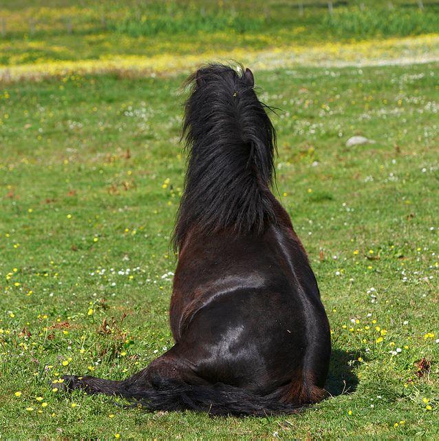 cute shetland ponies | Shetland pony stallion sitting down |