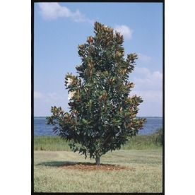 10 5 Gallon White Little Gem Magnolia Flowering Tree In Pot With