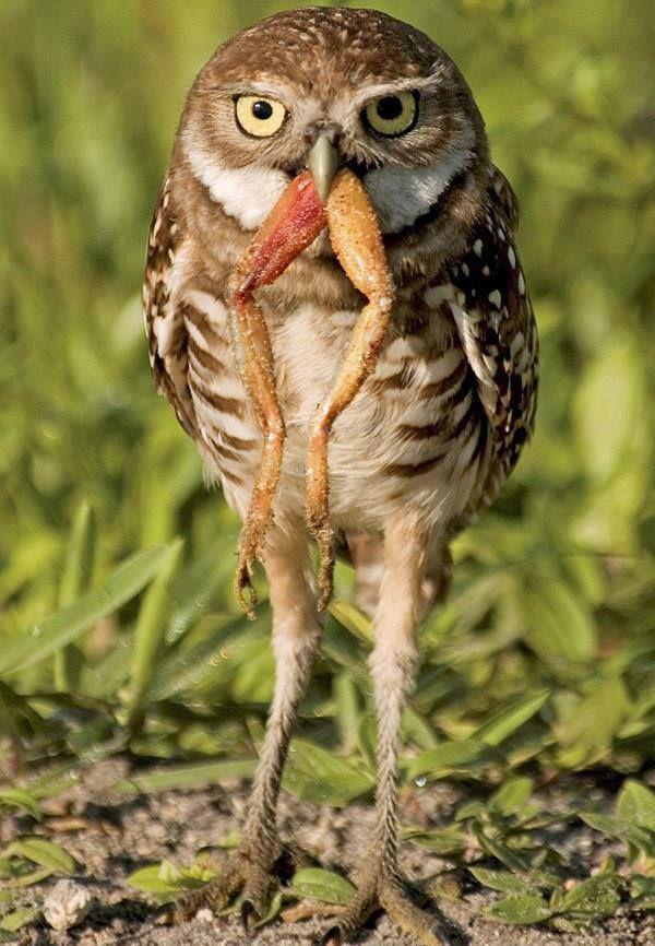Poor frog ( Lucky Owl ) Burrowing owl, Owl, Animals