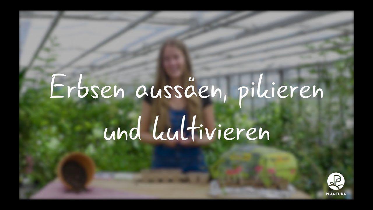 Anzeige I Erbsen Aussaen Und Pikieren Experten Video Erbsen Pflanzen Im Eigenen Garten Ist Mit Di Kohlrabi Pflanzen Susskartoffeln Anbauen Topinambur Pflanzen
