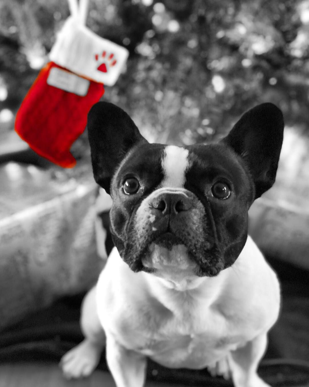 French Bulldog Group On Instagram Product Giveaway