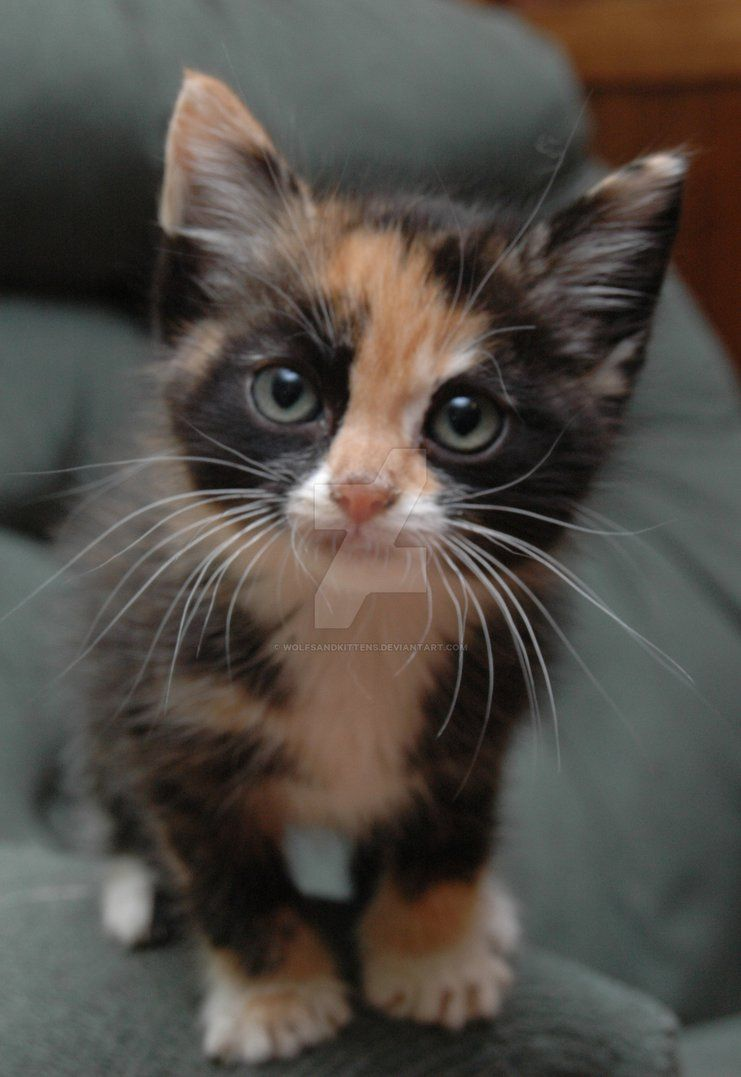 My Calico Kitten Cute Cats Cute Baby Animals Kittens Cutest