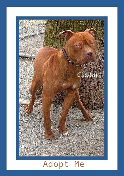 Adopt Chestnut On Petfinder Dog Adoption Pitbull Terrier Animal Shelter
