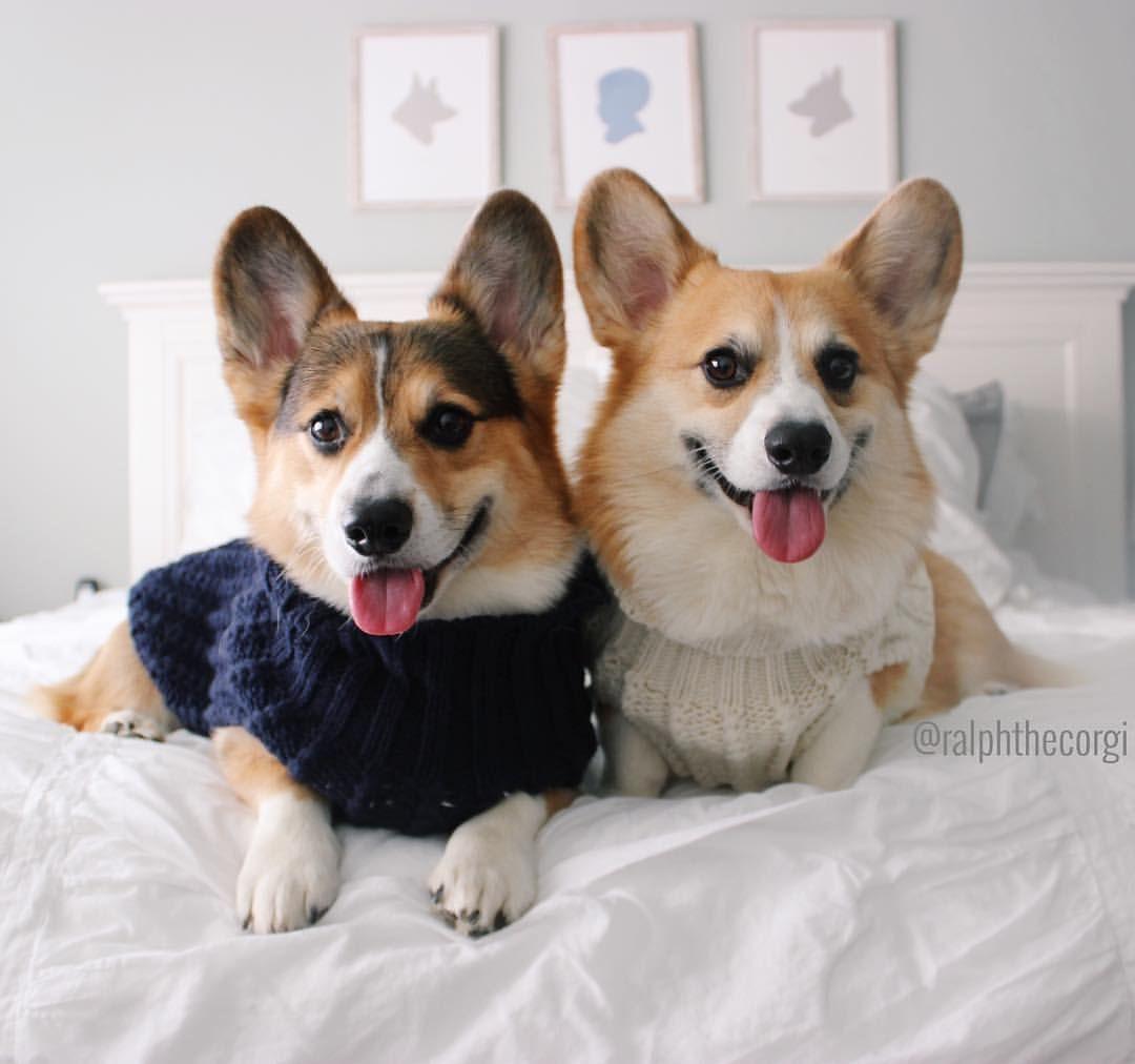 See This Instagram Photo By Ralphthecorgi 7 572 Likes Corgi Corgi Dog Cardigan Welsh Corgi Puppies