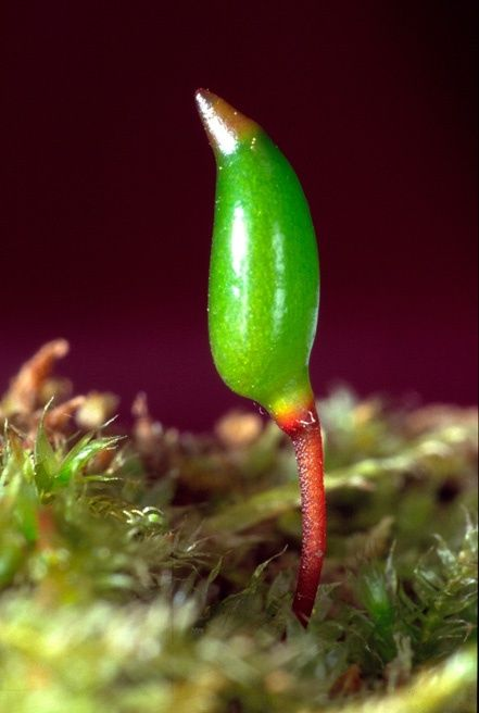 Buxbaumia viridis, also known as Bug moss, Bug-on-a-stick, Humpbacked elves, or Elf-cap moss © Helge Gundersen 2004