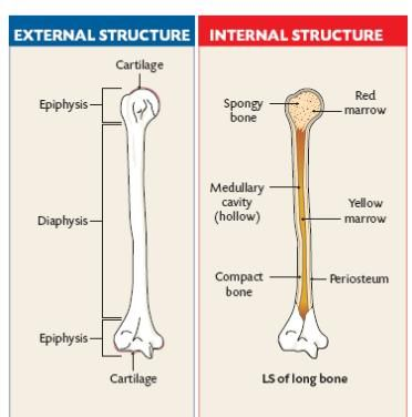 Diaphysis Amembrane Called The Periosteum Encloses Long Bones It