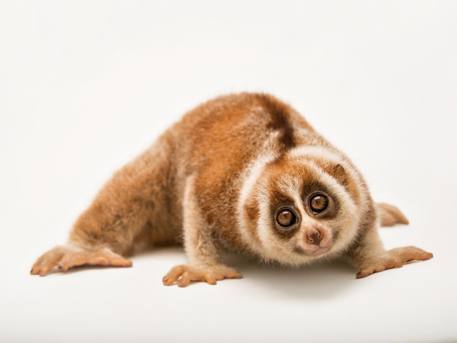 Are Humans Pushing the Slow Loris to Extinction? Slow