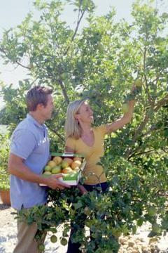 Homemade Dormant Oil Spray For Fruit Trees Growing Fruit Trees Pruning Fruit Trees Fruit Garden