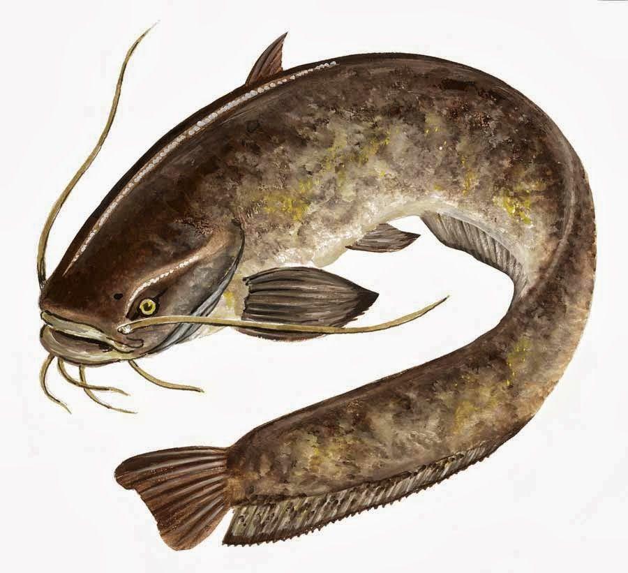 صيادين السمك انوتع اسماك المياه العذبة مشاركة القائد الفنان Animal Art Animals Catfish