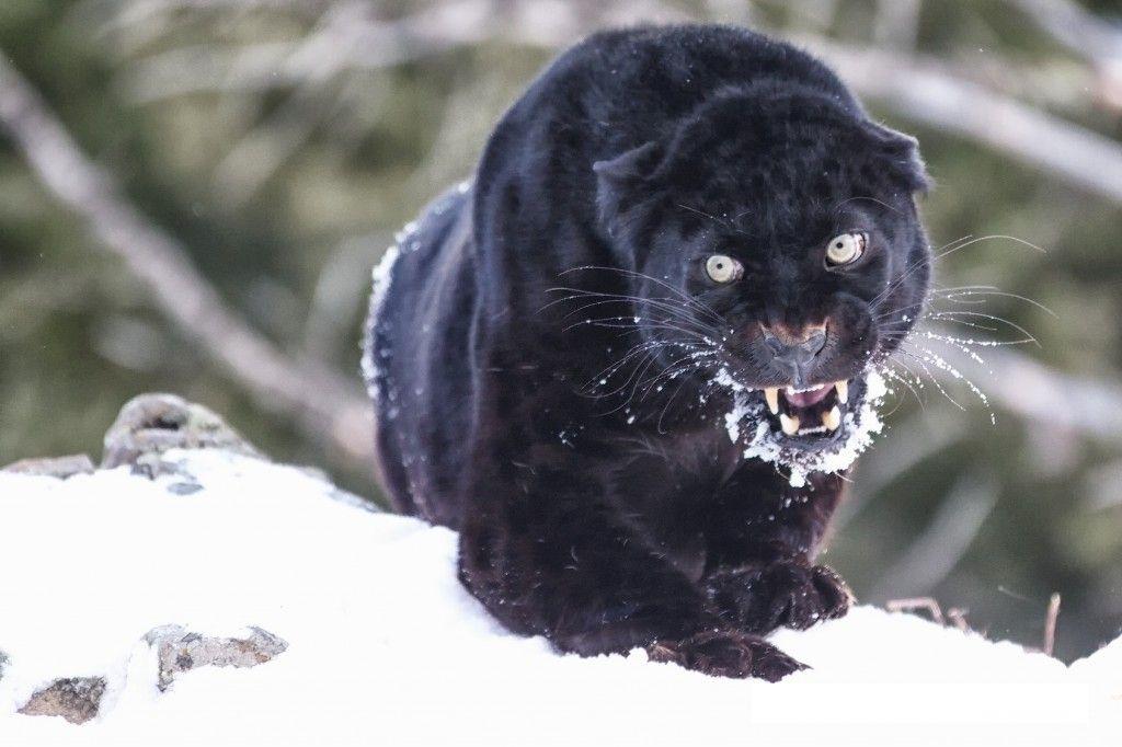 Angry Black Panther Angry Black Bear   Ang...