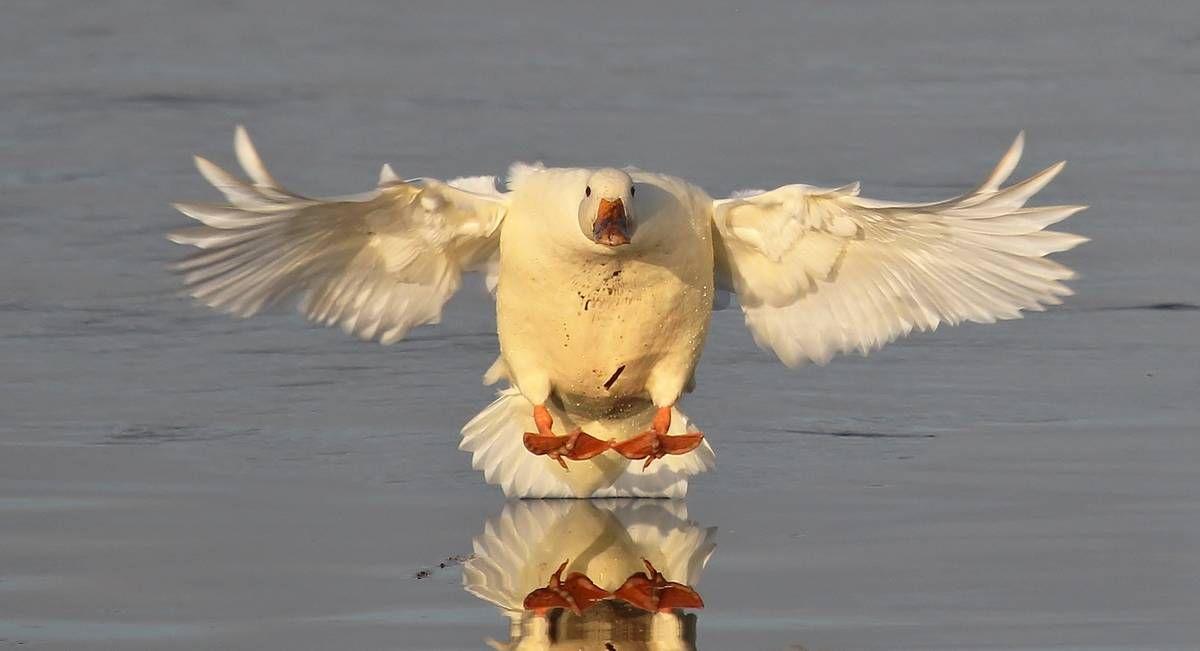 Een witte wilde eend is klaar om te landen, van fotograaf kanjer.