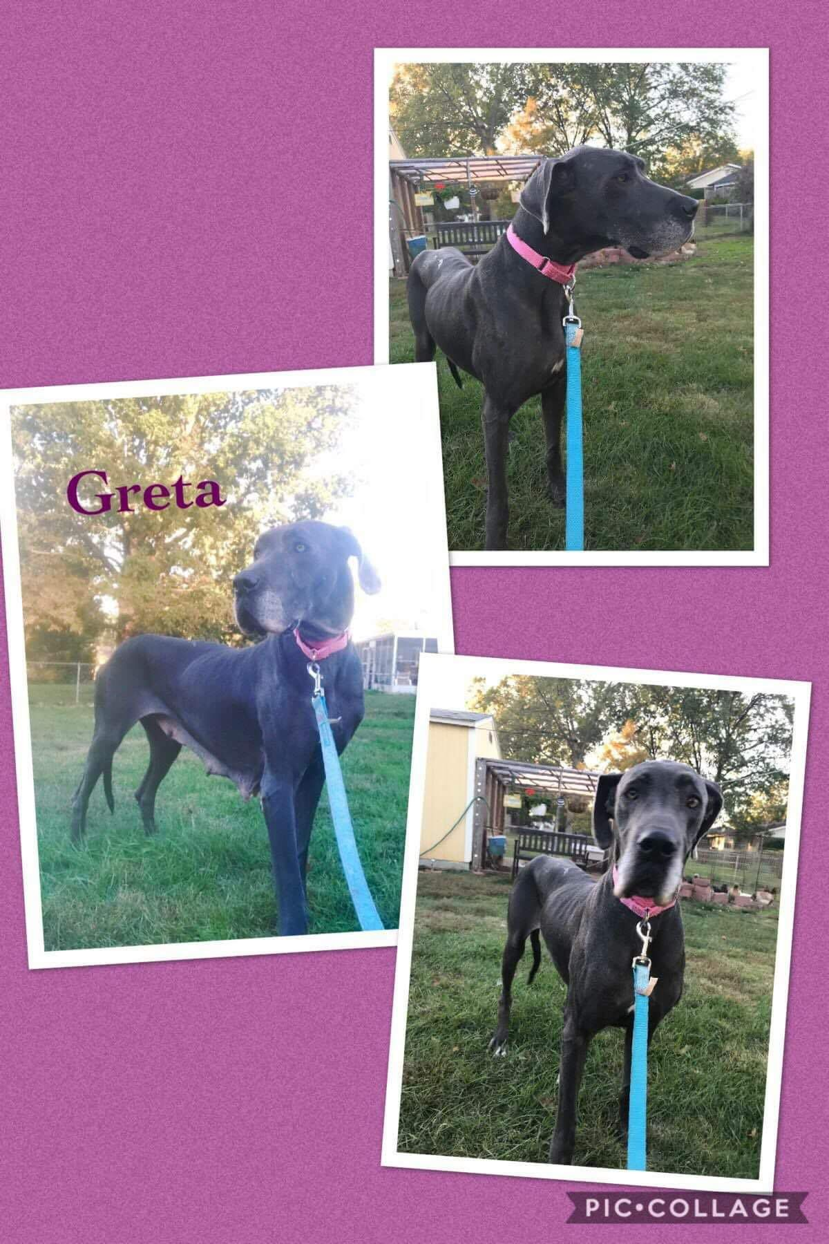 Great Dane Dog For Adoption In Fenton Mo Adn 712300 On