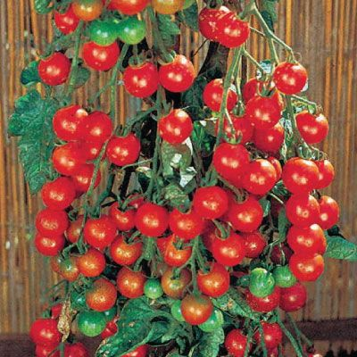 Supersweet 100 Tomato Seeds Urban Farmer Seeds Tomato Seeds Cherry Tomato Plant Growing Tomatoes From Seed