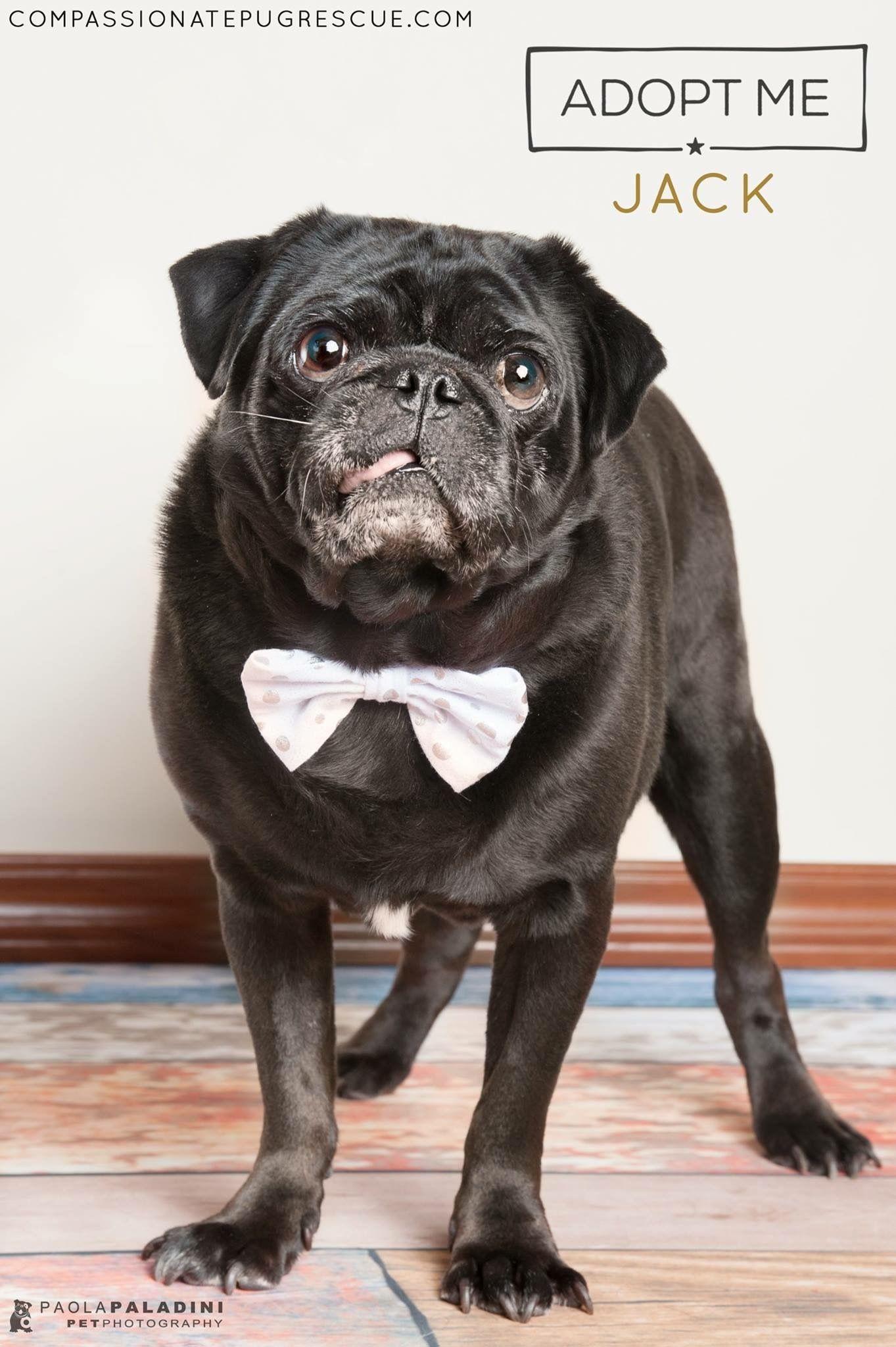 Jack M Pug In Miami Florida Bonded Yorkiepuppyrescueflorida Yorkie Puppy Cute Puppy Breeds Dog Adoption