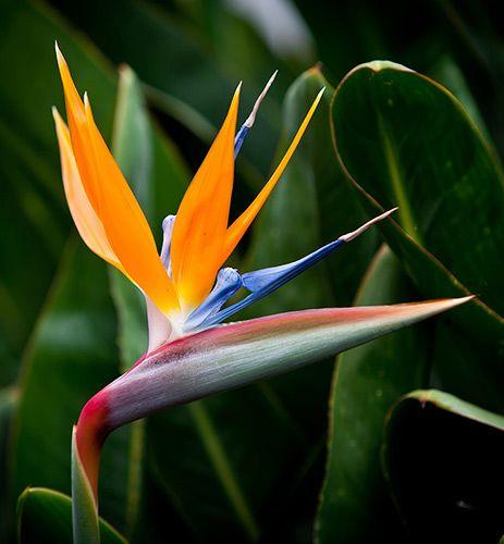 Strelitzia Reginae Bird Of Paradise Yougarden Paradise Flowers Birds Of Paradise Plant Birds Of Paradise Flower