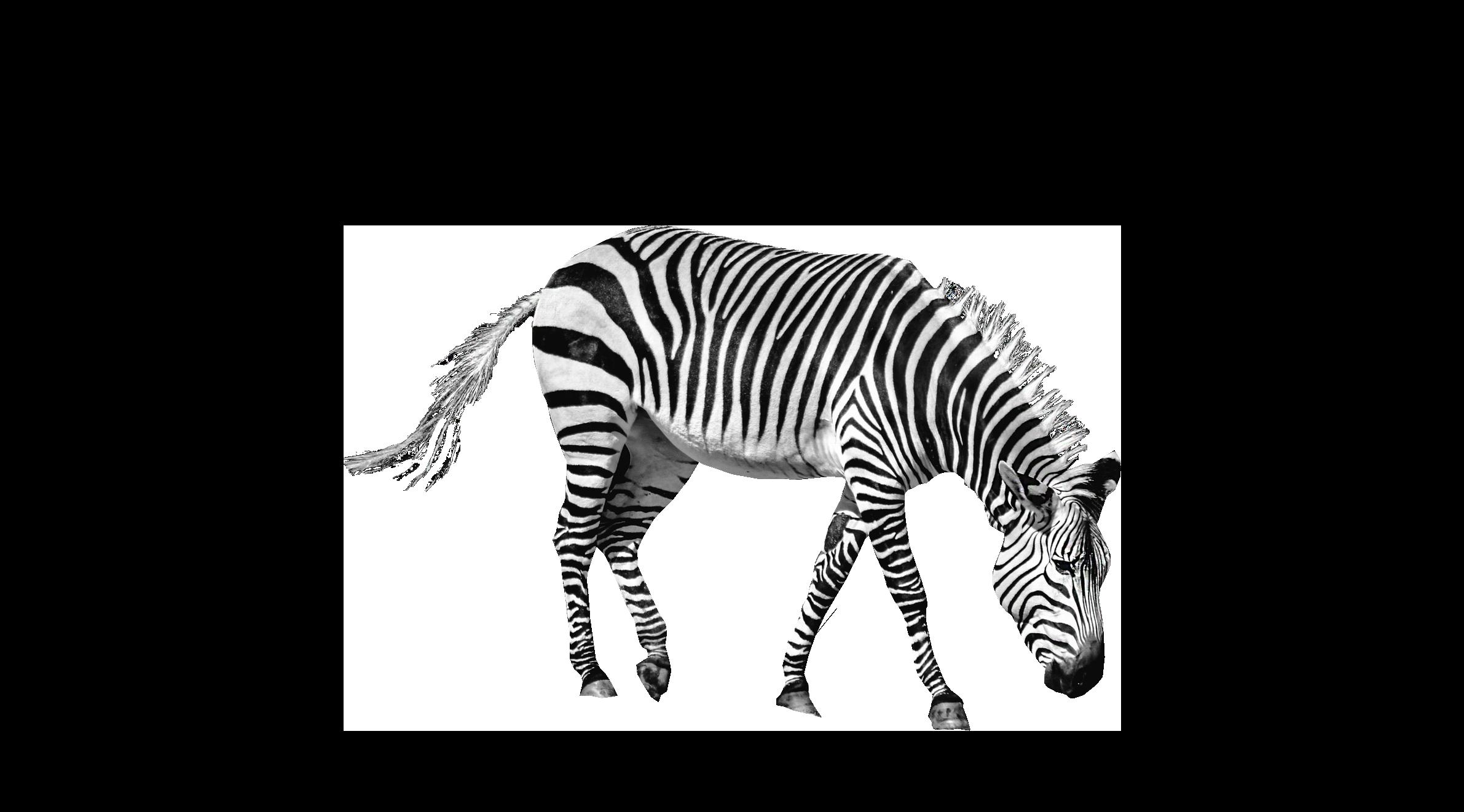 Zebra PNG Image Zebra, African animals, Png images