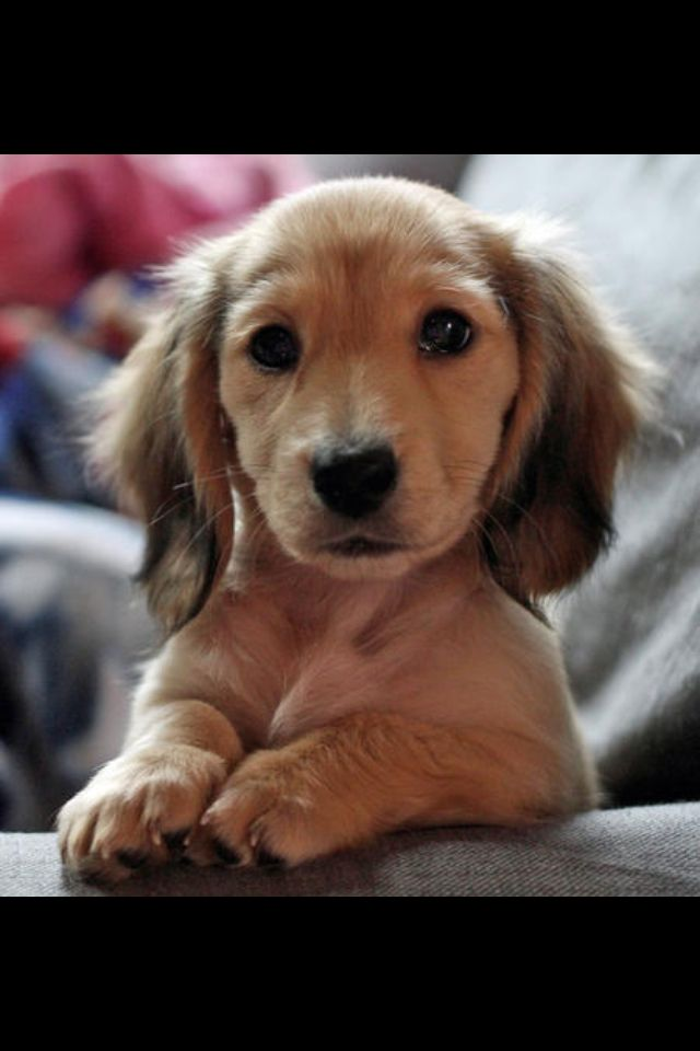 I want it! Lil doxie Cute puppy names, Dachshund puppies