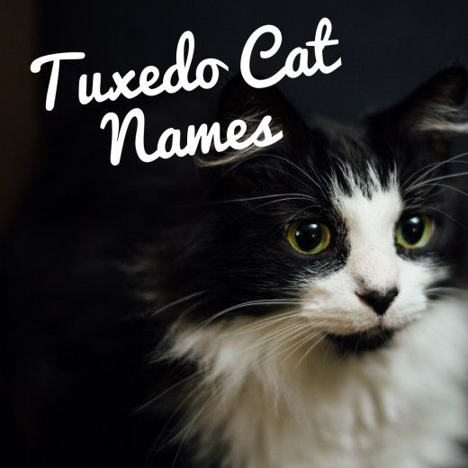 120+ Best Names for Black and White Tuxedo Cats Cute cat