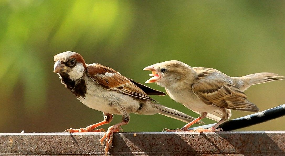 House Sparrow Feeding the Juvenile Download HD Desktop,Mobile ...