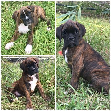 Boxer Puppy For Sale In Pearland Tx Adn 44387 On Puppyfinder Com