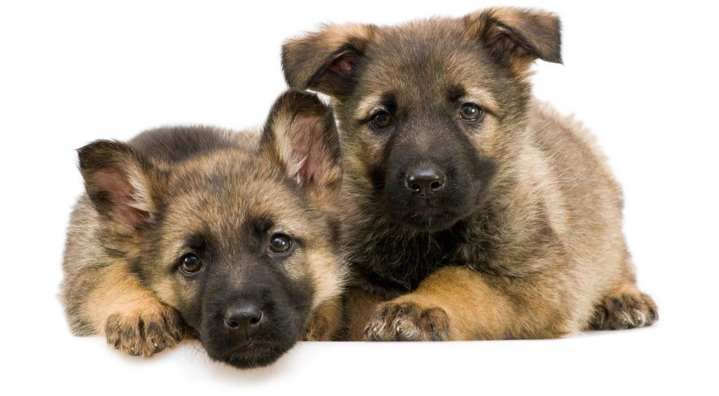 Badass German Shepherd Names For Males And Females German