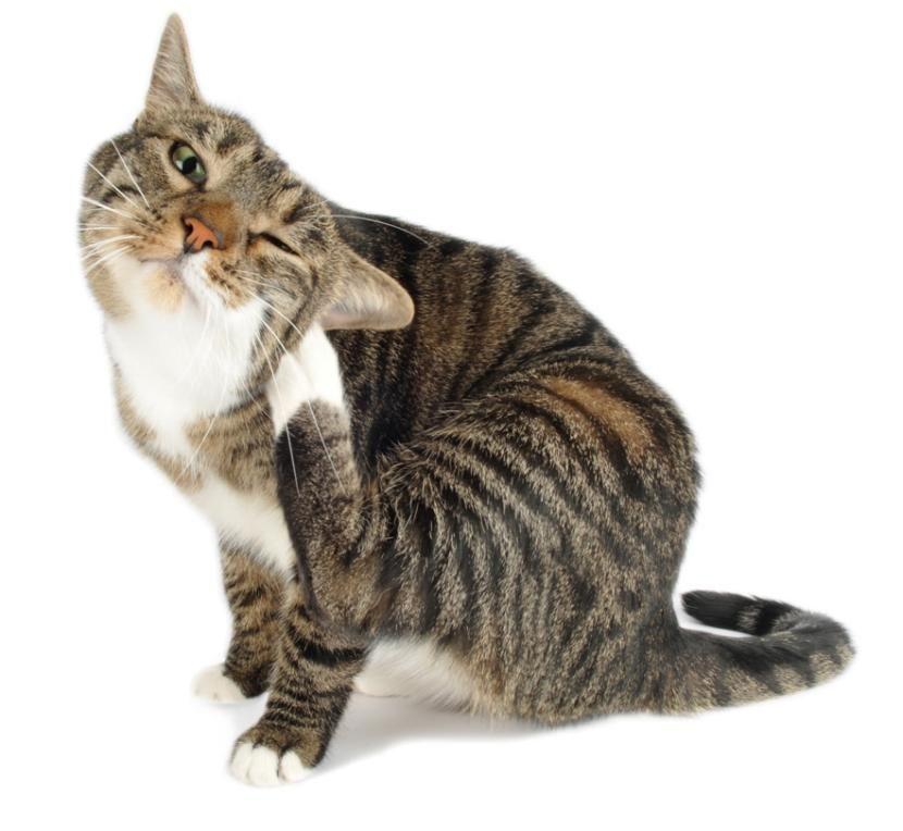 Cómo tratar los ácaros en los gatos - http://www.notigatos.es/como-tratar-los-acaros-en-los-gatos/