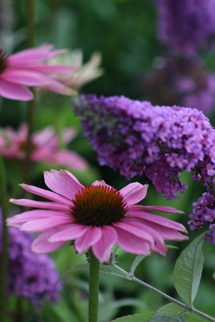 Echinacea and Butterfly Bush
