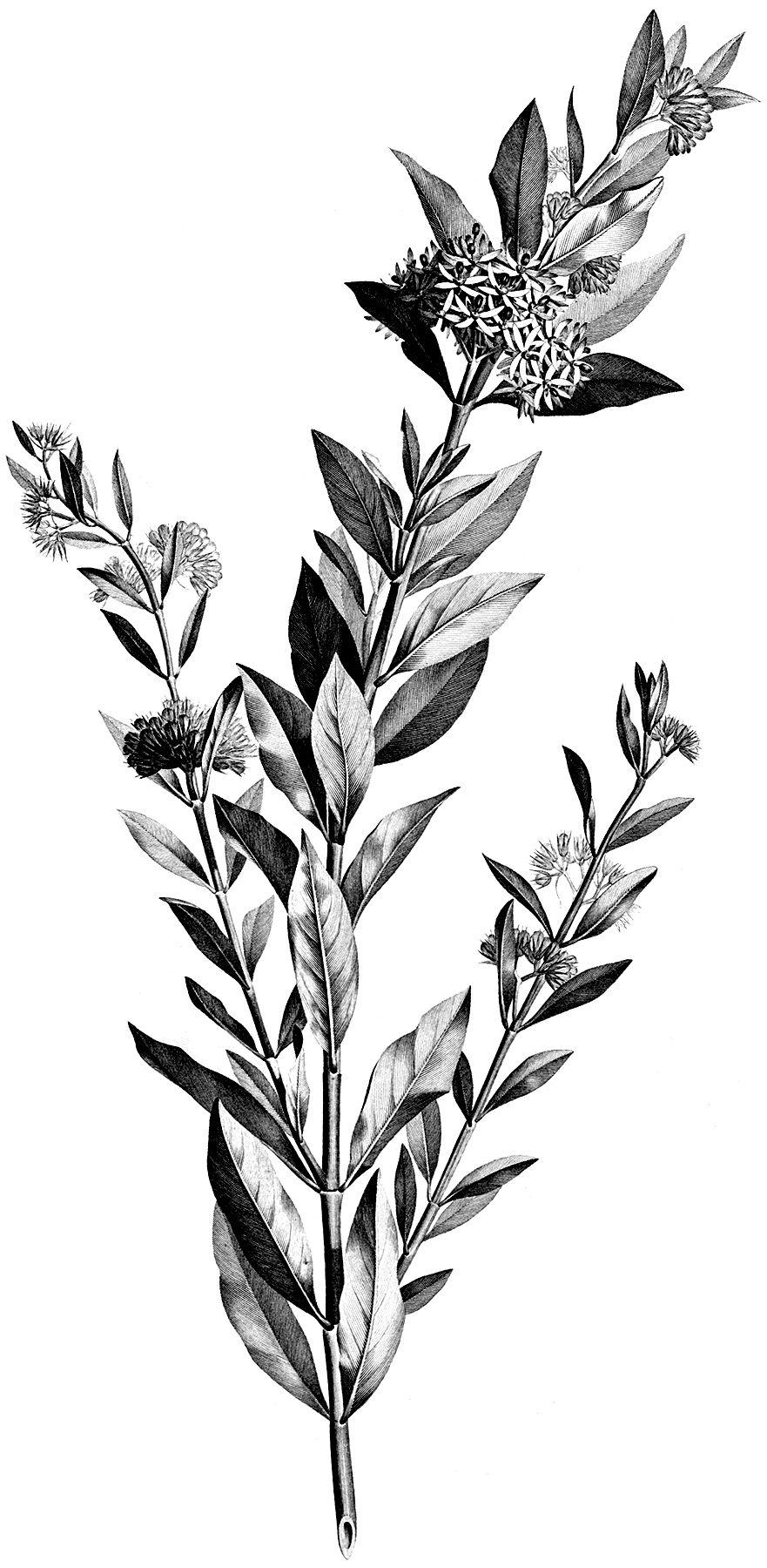 4 Black And White Botanical Stems Images Vintage Flower Tattoo Black And White Leaves Botanical Illustration Black And White