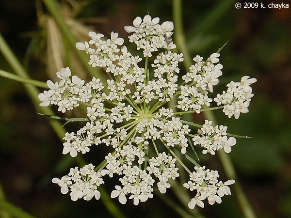 Daucus carota queen annes lace minnesota wildflowers queen photos and information about minnesota flora queen annes lace flat clusters 2 to 5 inches across of tiny white flowers with long narrow showy bracts mightylinksfo Choice Image