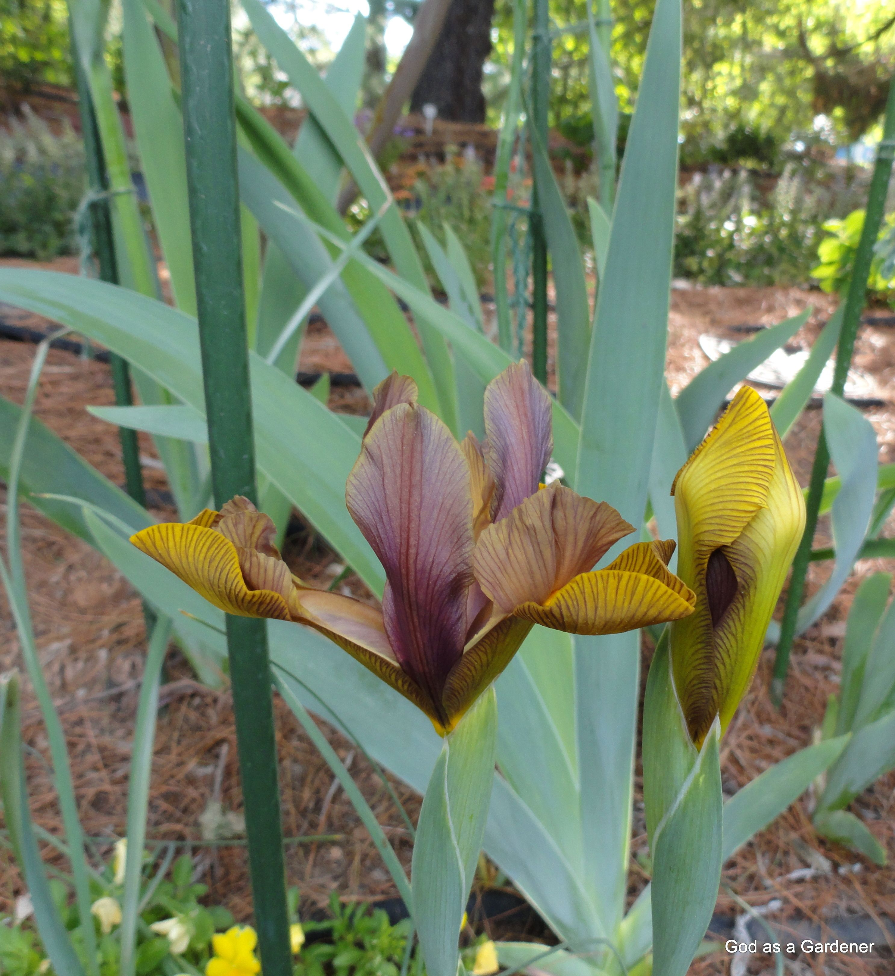 The Bible Called The Iris A Flag Flowering Trees Plants Flowers