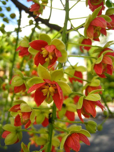 Cassia Brewsteri A Flowering Tree In Brisbane Queensland Australia Flowering Trees Pretty Plants Beautiful Flowers