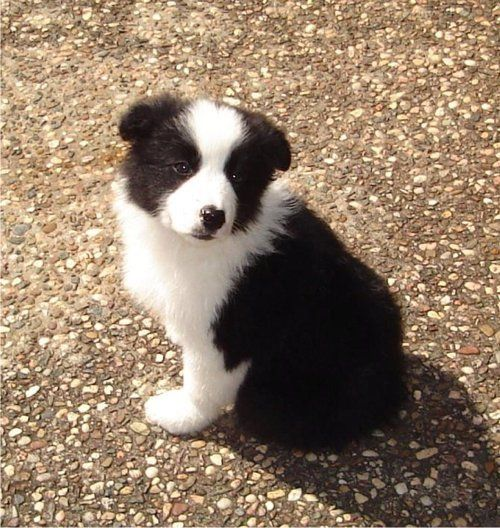 Australian Shepherd Looks Like Cooper Collie Puppies Border