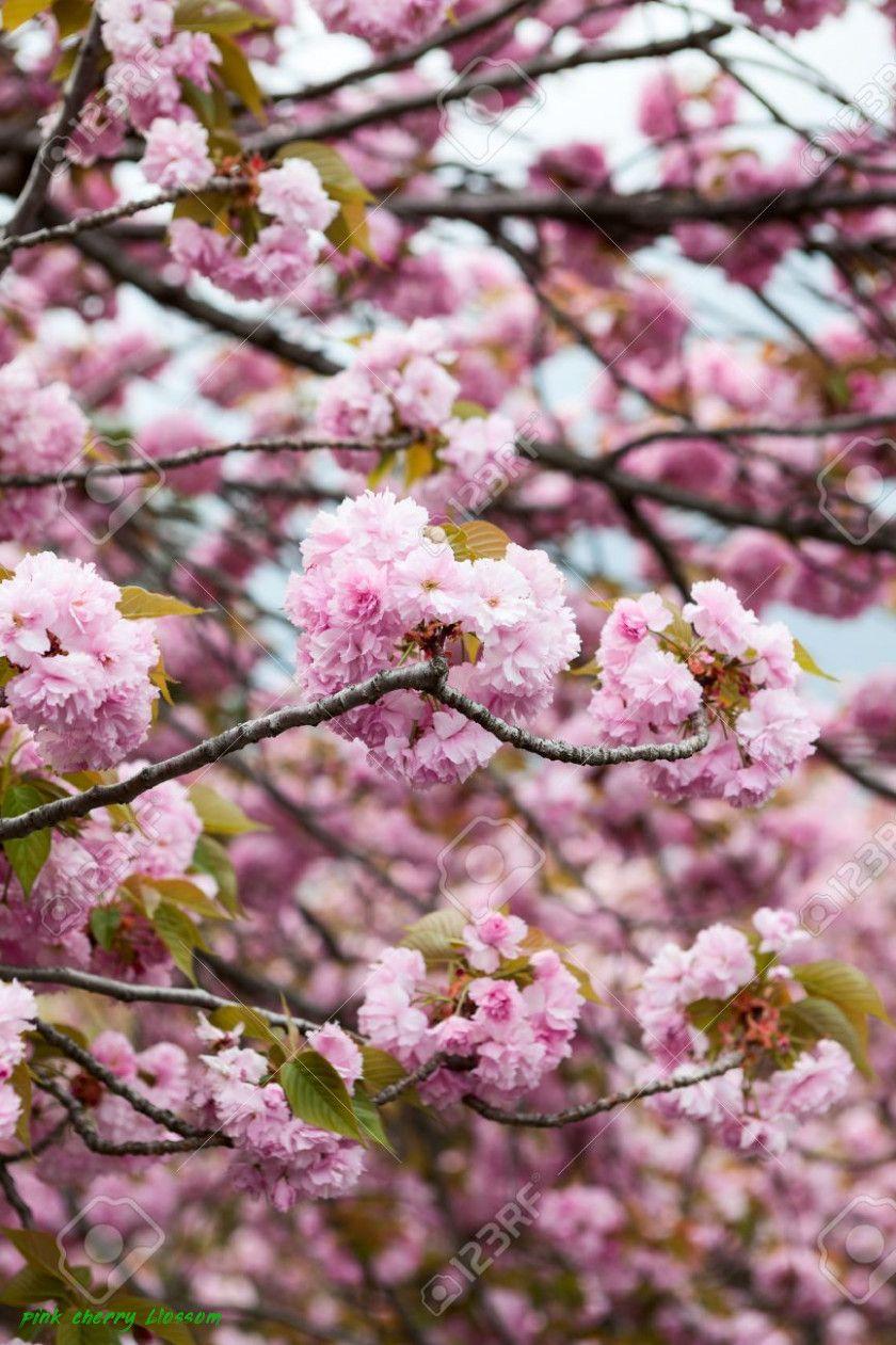 The Ultimate Revelation Of Pink Cherry Blossom Pink Cherry Blossom Https Www Flowernifty Com The Ultim Dogwood Blooms Flower Wallpaper White Cherry Blossom