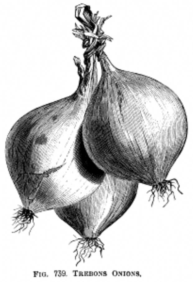 Pin By Sona Felcanova On Cuadros Clip Art Vintage Onion Illustration Vegetable Drawing