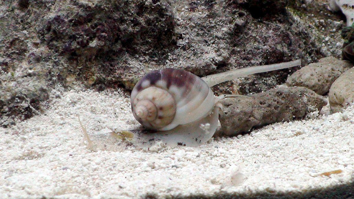 улитка Nassarius Fish, Snail
