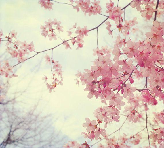 Spring Blossoms Blossom Trees Cherry Blossom Black Cherry Tree