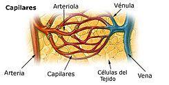 Presión arterial de arterias, venas y capilares