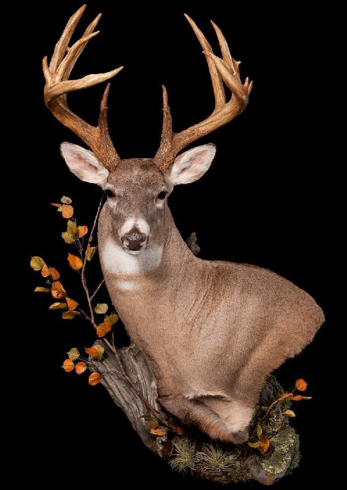 Products Deer Mount Ideas Pinterest Deer Mounts