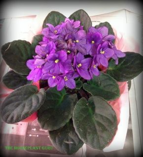 stylist lily house plant. repotting african violet 020 African Violet Care  Violets