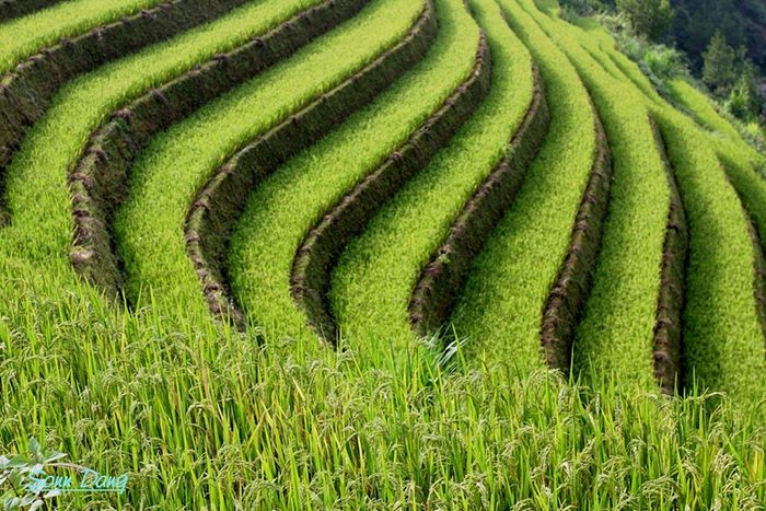 Terraced Fields Vietnam By Son Dang Hn Dangdong Www Flickr