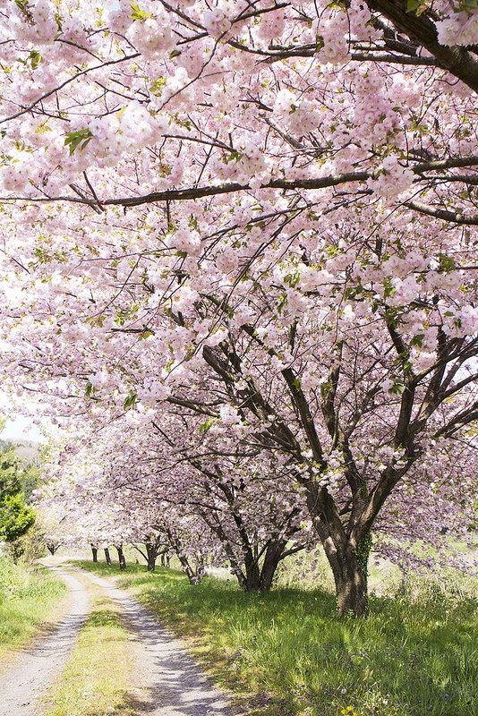 Img 2759 Beautiful Nature Cherry Blossom Tree Nature Images