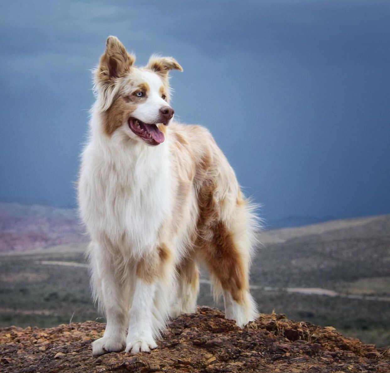 Aussie Australian Shepherd Shiloh Shepherd Dogs