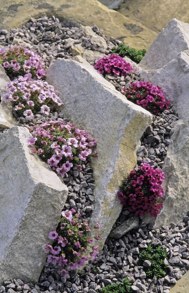 "rock gardening, with joseph tychonievich (plus our may 6 events is part of Unique garden Ideas - I GET ALL PANICKY when people say something is a ""rockgarden plant,"" certain that they mean it's miniature and precious [read more…]"