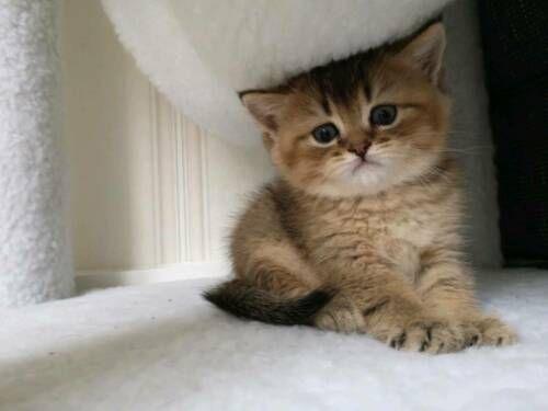 BKH Kitten Junge in NordrheinWestfalen Soest Britisch