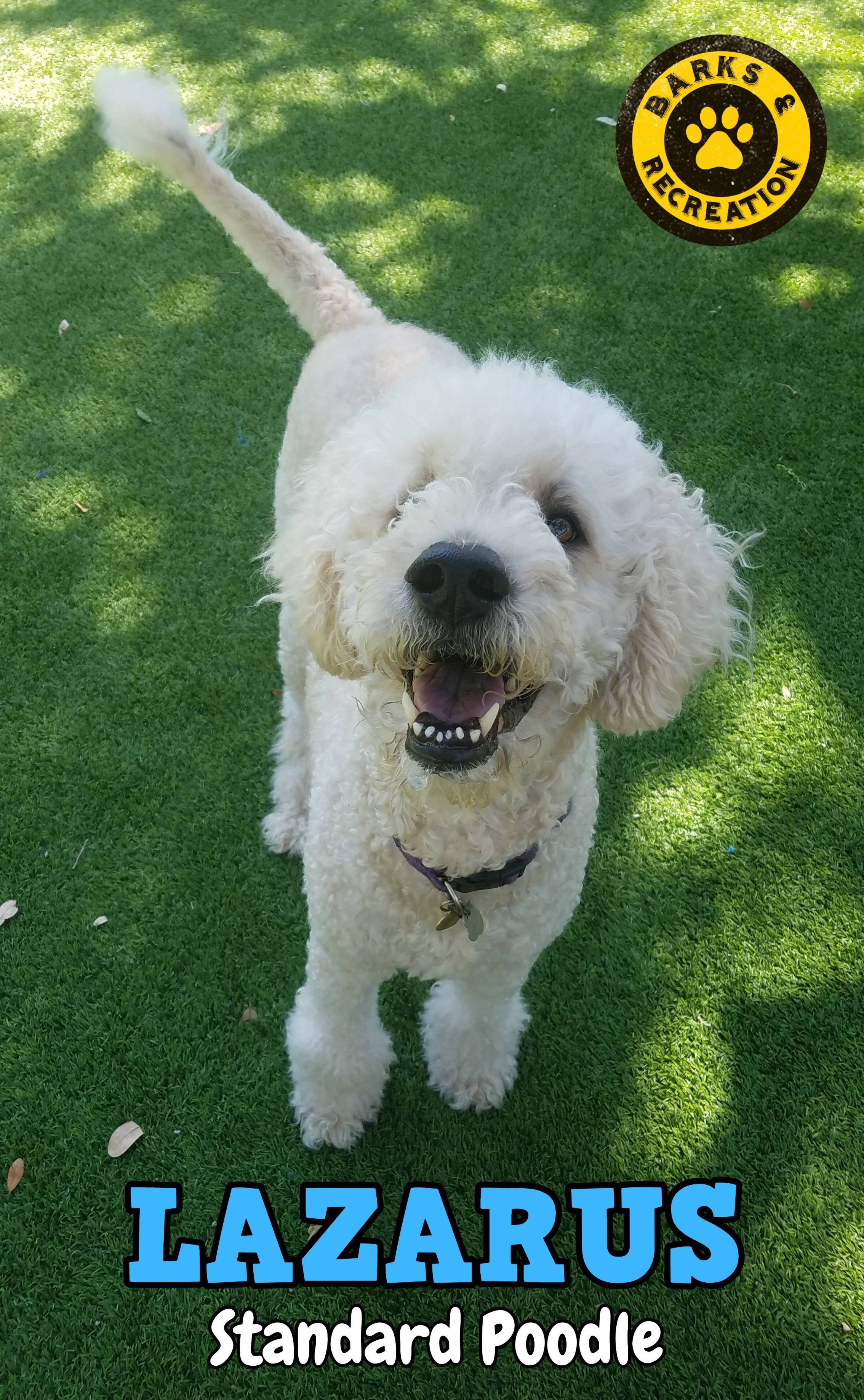 Lazarus A Standard Poodle At Barks Recreation In Seminole Fl