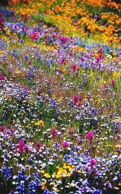 Table Mountain wildflowers near Oroville in northern California, U S  is part of Wildflower garden -