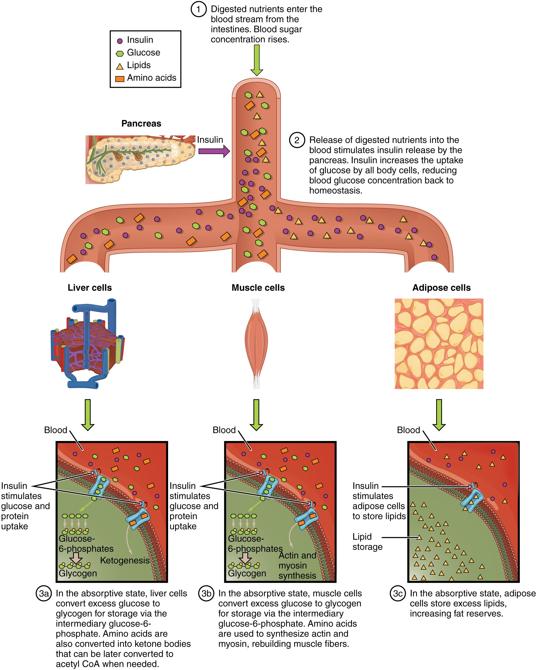 This figure shows how nutrients are absorbed by the body. The ...