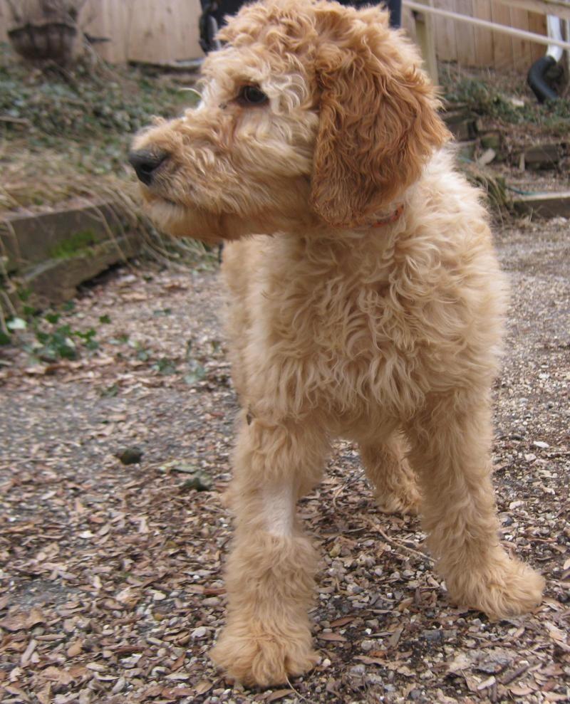 Adopt Liam On Irish Setter Dogs Poodle Mix Dogs Dog Adoption