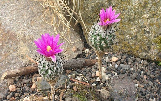 Самые уникальные в мире кактусы (фото и названия ...